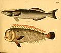 Naturgeschichte in Bildern mit erläuterndem Text (Taf. XLVI) (6058663969).jpg