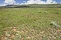 Near Coyote Canyon - Flickr - aspidoscelis (3).jpg