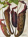 Nepenthes hybrids by Johanna Beckmann (1918).jpg