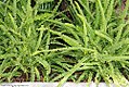 Nephrolepis cordifolia 2zz.jpg