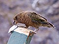 Nestor notabilis -Mount Aspiring National Park, New Zealand-8 (2).jpg