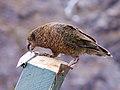 Nestor notabilis -Mount Aspiring National Park, New Zealand-8 (2).jpg