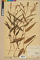 Neuchâtel Herbarium - Cephalanthera rubra - NEU000046818.jpg