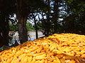 Ngô vàng tại An Phú.jpg