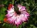 Nigella damascena pinkwhite.jpg