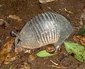 Nine-banded Armadillo. Dasypus novemcinctus. - Flickr - gailhampshire.jpg