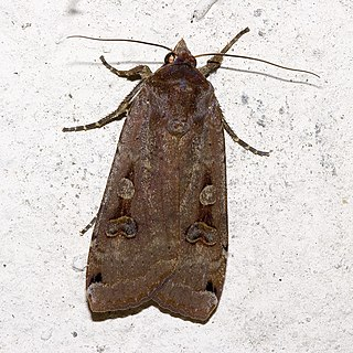 Noctuoidea Superfamily of moths