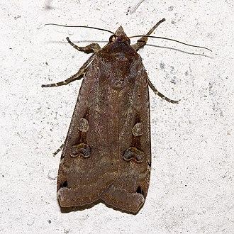 Noctuoidea - Large Yellow Underwing, Noctua pronuba