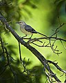 Northern Mockingbird Cincinnati Ohio (30130617).jpeg