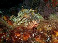 Northern Scorpionfish - Parascorpaena picta - Poor Knights Islands 02.jpg