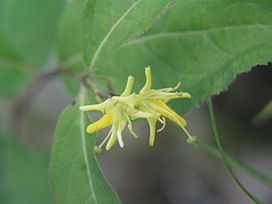 Northern bush honeysuckle.jpg