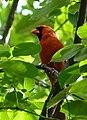 Northern cardinal.jpg