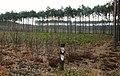 Notec Forest, Mialy, Debogora 04.JPG