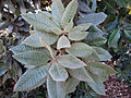 Notholithocarpus densiflorus 001 — briweldon.jpg