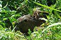 Nutria animal mammal myocastor coypus.jpg