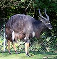 Nyala Tierpark Hellabrunn-12.jpg