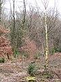 Oak ^ Larch Wood, Whitcliffe Forest - panoramio.jpg