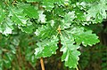 Oak leaves by the Quoile - geograph.org.uk - 924799.jpg