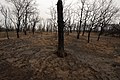 Oak trees that where severely damaged in a wildfire that occurred three weeks earlier. (25085333456).jpg