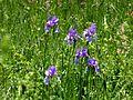 Obere Mähder Iris sibirica 2.jpg