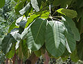 Octopus Tree (Schefflera actinophylla) leaves at Hyderabad, AP W 285.jpg