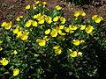 Oenothera fruticosa 03.JPG