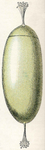 Egg of lamprey