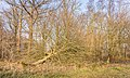 Omgewaaide moeraseik (Quercus palustris). Locatie, Natuurterrein De Famberhorst.jpg