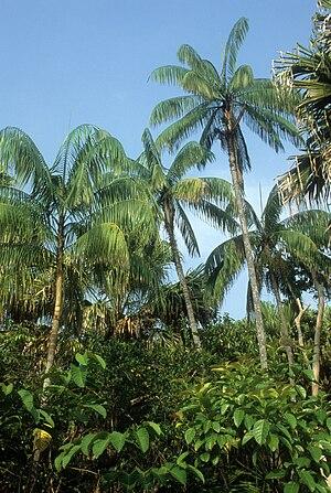 Oncosperma tigillarium - Oncosperma tigillarium in Malaysia