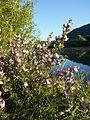 Ononis spinosa subsp. spinosa sl1.jpg