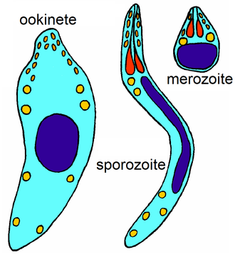 Apicomplexan life cycle - An ookinete (motile), a sporozoite (motile) and a merozoite (non-motile) of Plasmodium falciparum.