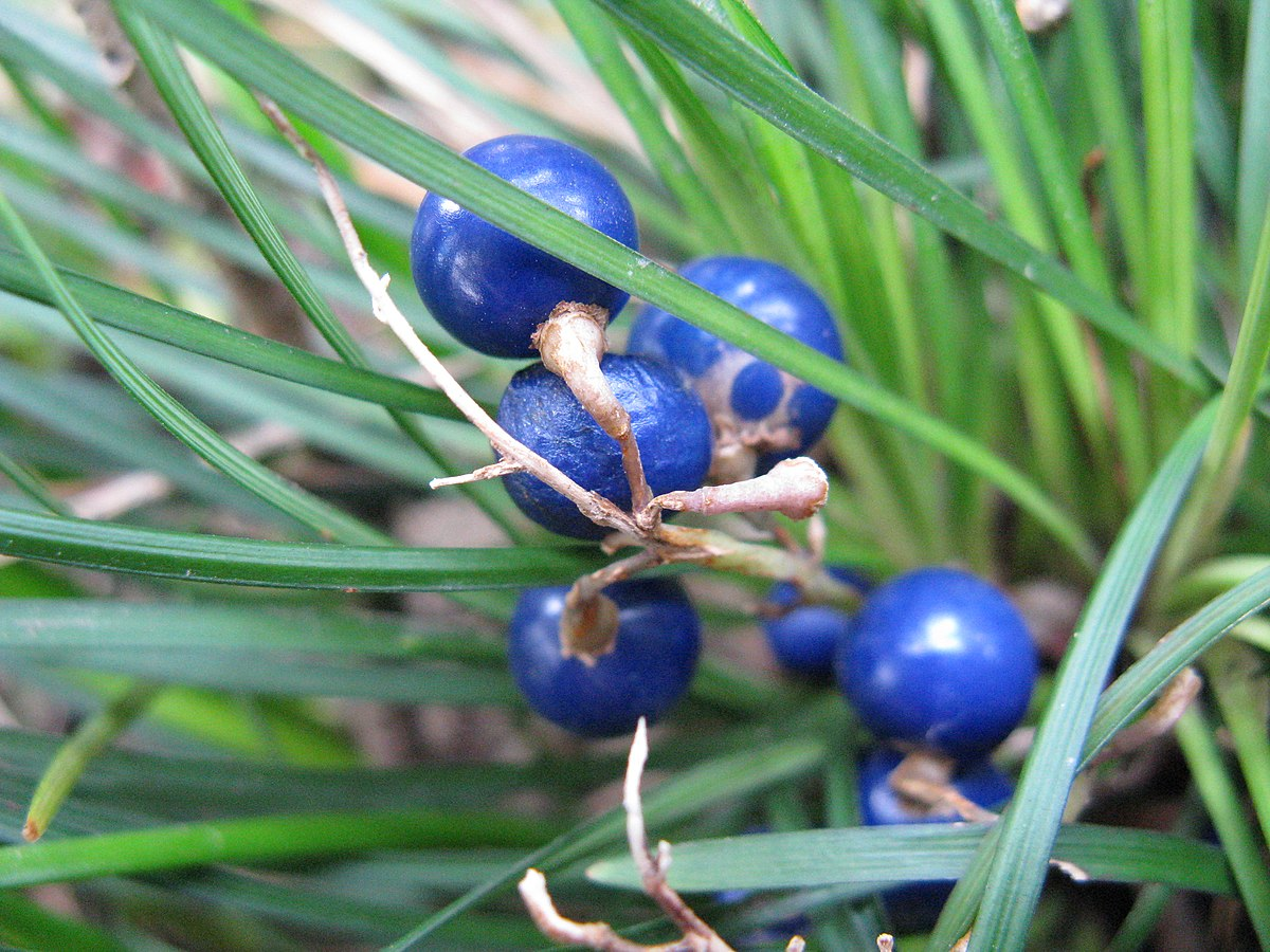 Ophiopogon japonicus - Wikipedia