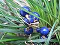 Ophiopogon japonicus2.jpg