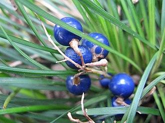 Ophiopogon japonicus - Fruit, close-up