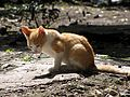 Orange-white kitten.jpg