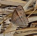 Orange Bush-brown (wet-season form) Mycalesis terminus (8502257709).jpg