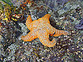 Orange ochre star.jpg