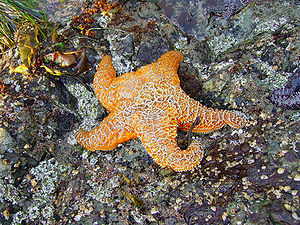 An orange ochre starfish found at Brady's Beac...