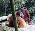 Orangutansandiego2.jpg