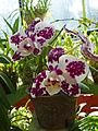 Orchidées-Jardin botanique de Peradeniya-Sri Lanka (16).jpg