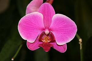 Phalaenopsis - Closeup of a Phalaenopsis flower