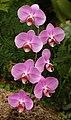 Orchid Phaleanopsis 'Tretes Facination' Flowers 1656px.jpg