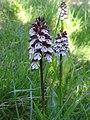 Orchis pourpre (Orchis purpurea).jpg