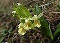 Orchis provincialis kz05.jpg