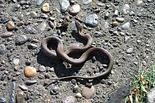 Oregon Garter Snake with Orange Stripe.JPG