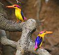 Oriental Dwarf Kingfishers.jpg