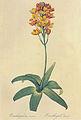 Ornithogalum dubium in Les liliacees.jpg