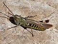 Orthoptera Gomphocerinae, Chorthippus binotatus (33182106956).jpg