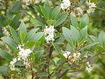 Osmanthus heterophyllus0.jpg