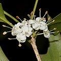 Osmanthus heterophyllus (flower s9).jpg